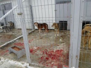"A photo the day after hundreds of dogs at Craiova shelter were ""euthanized"""