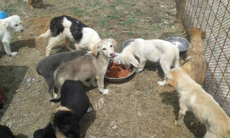 Providing food for the dogs in the over-crowded shelter