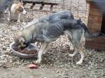 Emaciated dog eating food thanks to donations.  Without more this dog will not survive this winter